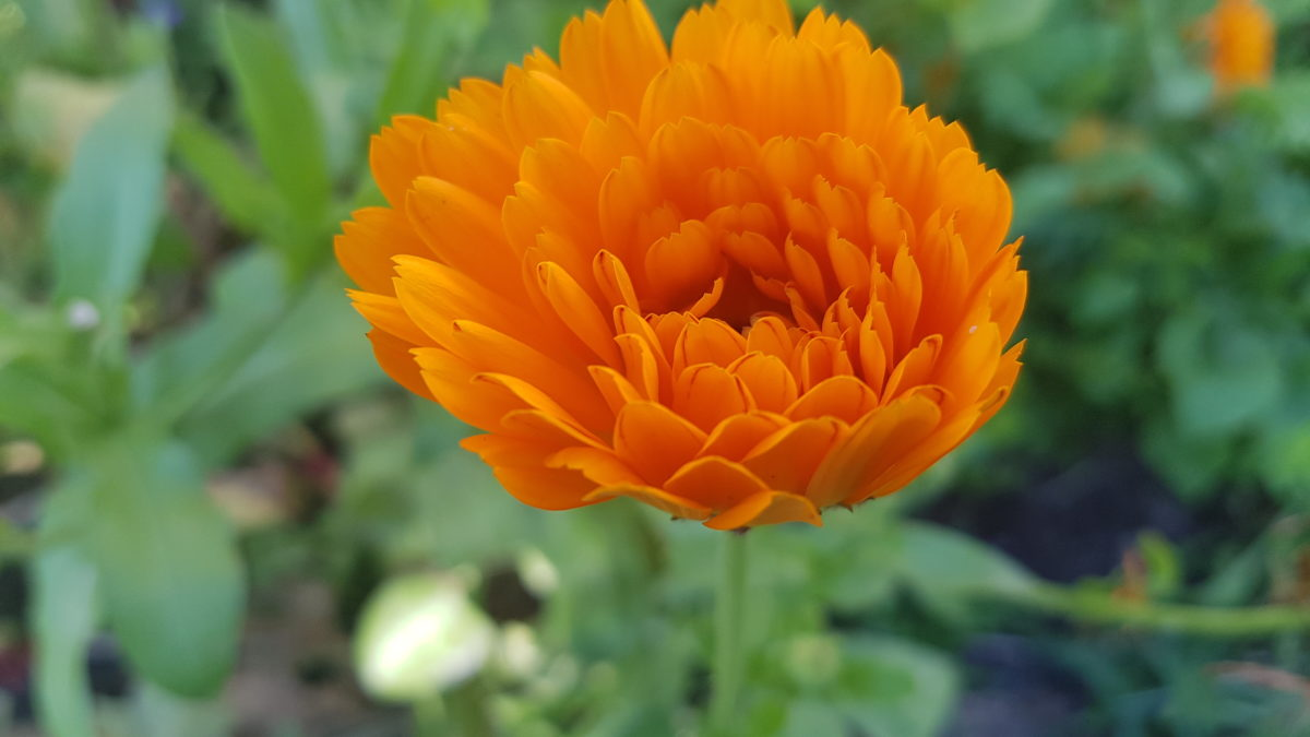 Ringelblume - ein geometrisches Wunder der Natur.